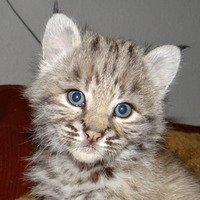 Продам красивых котят Канадской и Европейской рыси