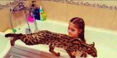 Продажа азиатских леопардовых кошек